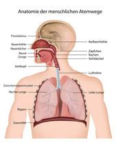 Anatomie Der Menschlichen Atem...