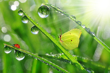 Fototapetafresh morning dew with butterfly and ladybird
