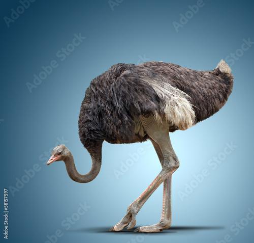 Poster de jardin Autruche ostrich