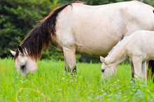 Black White Horse Mare And Foal In Grass.