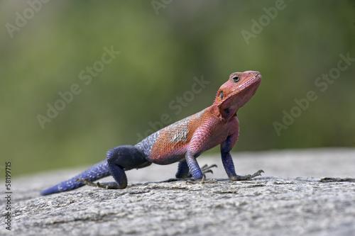 Photo Agama lizard,  Agama agama