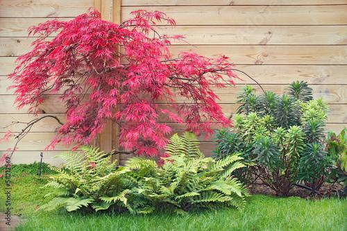 Photo Erable rouge acer palmatum dissectum en automne