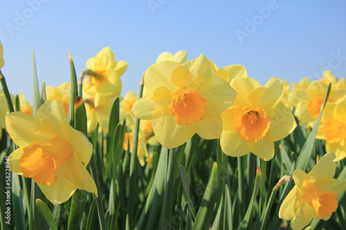 Deurstickers Narcis Yellow daffodils in a field