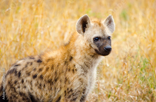 In de dag Hyena Juvenile spotted hyena in Kruger National Park