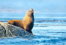 Steller Sea Lions Resting On R...