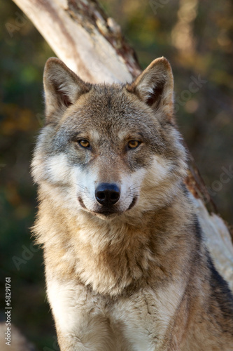 Photo  Grey Wolf - Canis Lupus