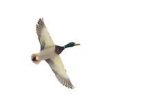 A Flying Mallard Duck