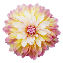 Multi-coloured Dahlia Isolated On White Background