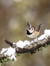 Crested Tit On Snow Branch