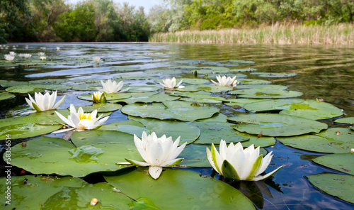 Photo sur Aluminium Nénuphars water lilyes on pond