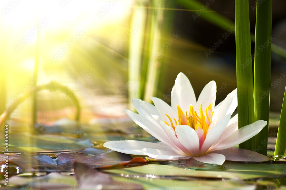 Fototapeta lotus flower