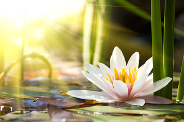 Fototapeta Współczesny lotus flower