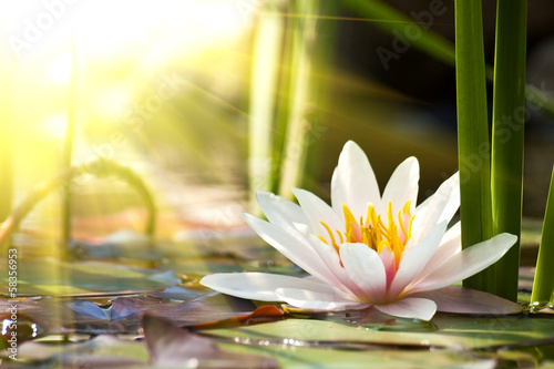 In de dag Waterlelies lotus flower