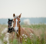 Fototapeta Horses - horses in field