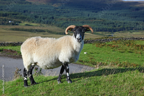 Fotografija  Portrait of a Scottish blackface sheep, Quirain, Isle of Skye, S