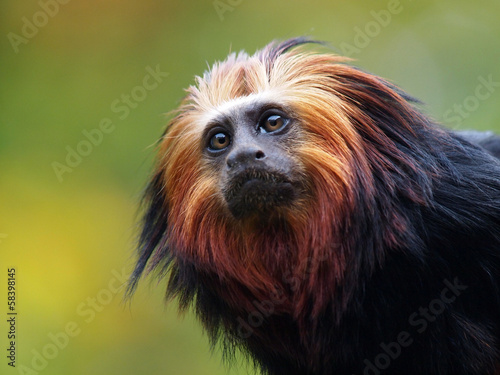 Door stickers Monkey Lion Tamarin
