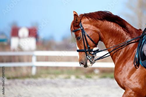 Fototapeta Portrait of a sports red horse. obraz