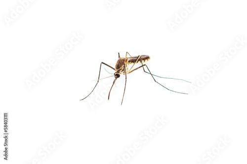 In de dag Tijger mosquito isolated on white