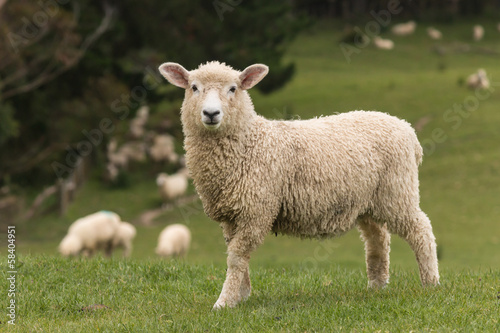Foto op Canvas Schapen isolated lamb with grazing sheep in background