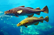 Cod Fishes Floating In Aquariu...