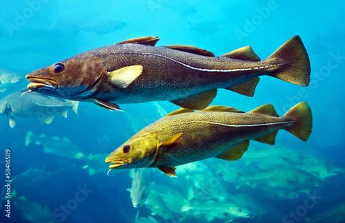 Fotografia Cod fishes floating in aquarium, Alesund, Norway.