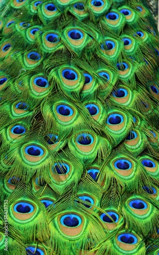 Foto op Plexiglas Pauw Peacock Tailfeathers