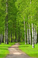 Fototapeta Birch trees