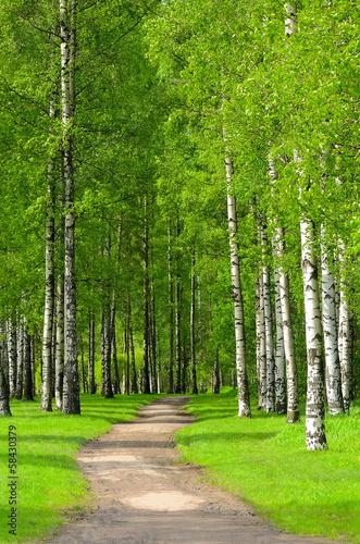 Fotografie, Obraz  Birch trees
