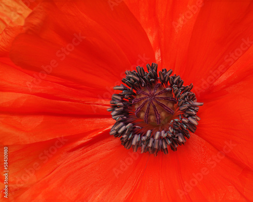 Macro shot of single red poppy.