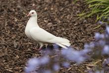 White Dove Standing On Ground
