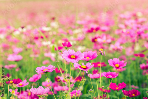 Photo  Cosmos flower fields at sunset