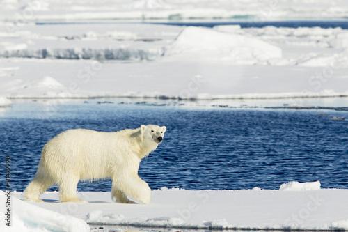 Staande foto Ijsbeer Oso polar