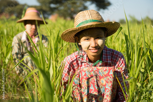 Photo  Myanmar Asian traditional farmer planting, harvesting in field