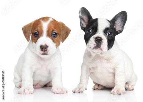 Poster Bouledogue français Jack Russell terrier and french bulldog puppies