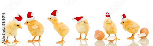 Fotografia Lots of baby chicken at christmas time