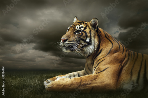 Spoed Foto op Canvas Tijger Tiger looking and sitting under dramatic sky with clouds