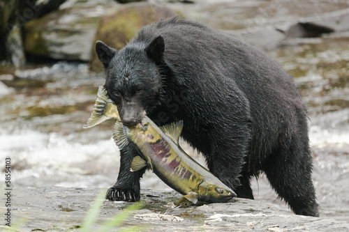 Black bear feeding with salmon at a small creek