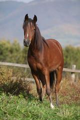 Perfect arabian horse on pasturage in autumn
