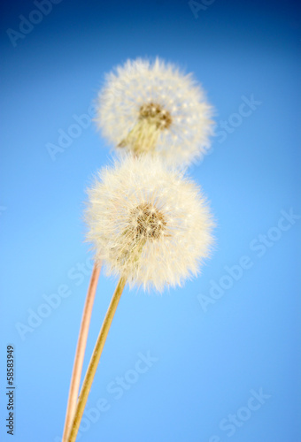 Beautiful dandelions with seeds on blue background