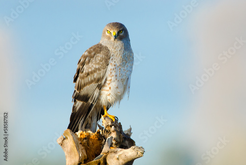 Photo  Northern Harrier, Marsh Hawk, Male