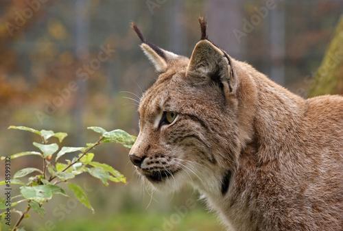 Foto op Aluminium Lynx Eurasischer Luchs - [Lynx lynx]