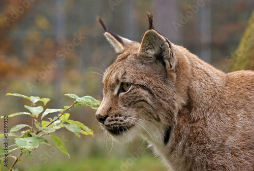 Tuinposter Lynx Eurasischer Luchs - [Lynx lynx]