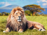 Fototapeta Animals - Big lion lying on savannah grass. Kenya, Africa
