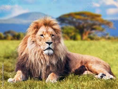 Poster Lion Big lion lying on savannah grass. Kenya, Africa