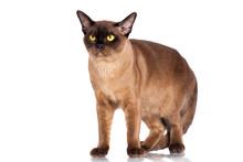 Brown Burmese Cat Standing