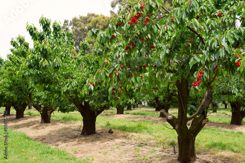 cherry-trees-in-garden