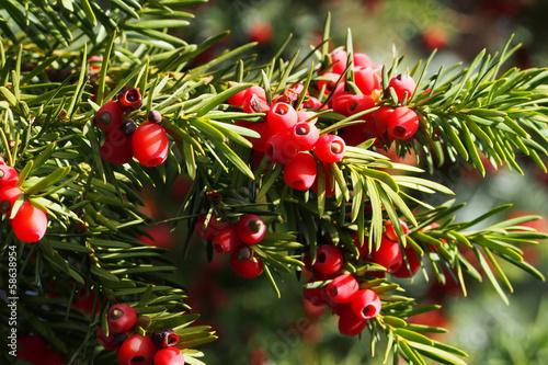 Obraz na plátně Yew branch with berries