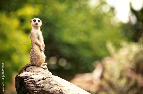 Meerkat (Surikate) Tapéta, Fotótapéta