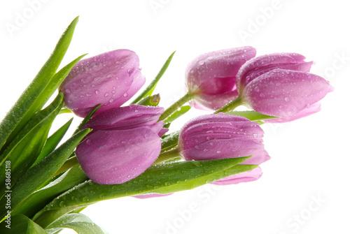 piekny-bukiet-purpurowe-tulipany-na-bialym-tle