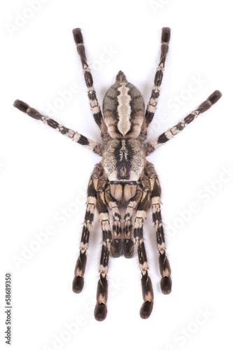 Tarantula spider, female (Poecilotheria regalis) - Buy this stock